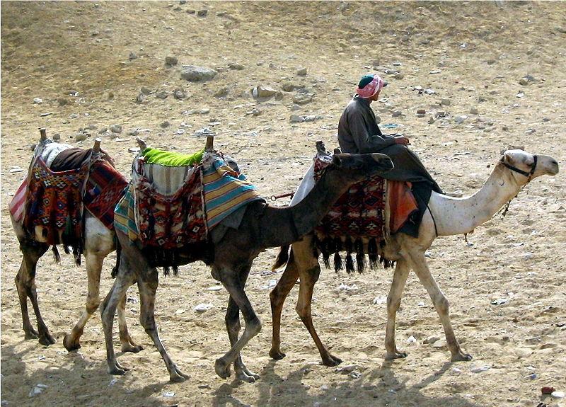 camels_at_giza