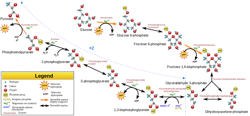 Glycolysis2-pathway