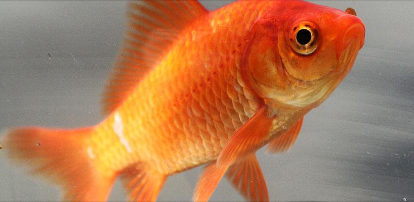 Common_goldfish2