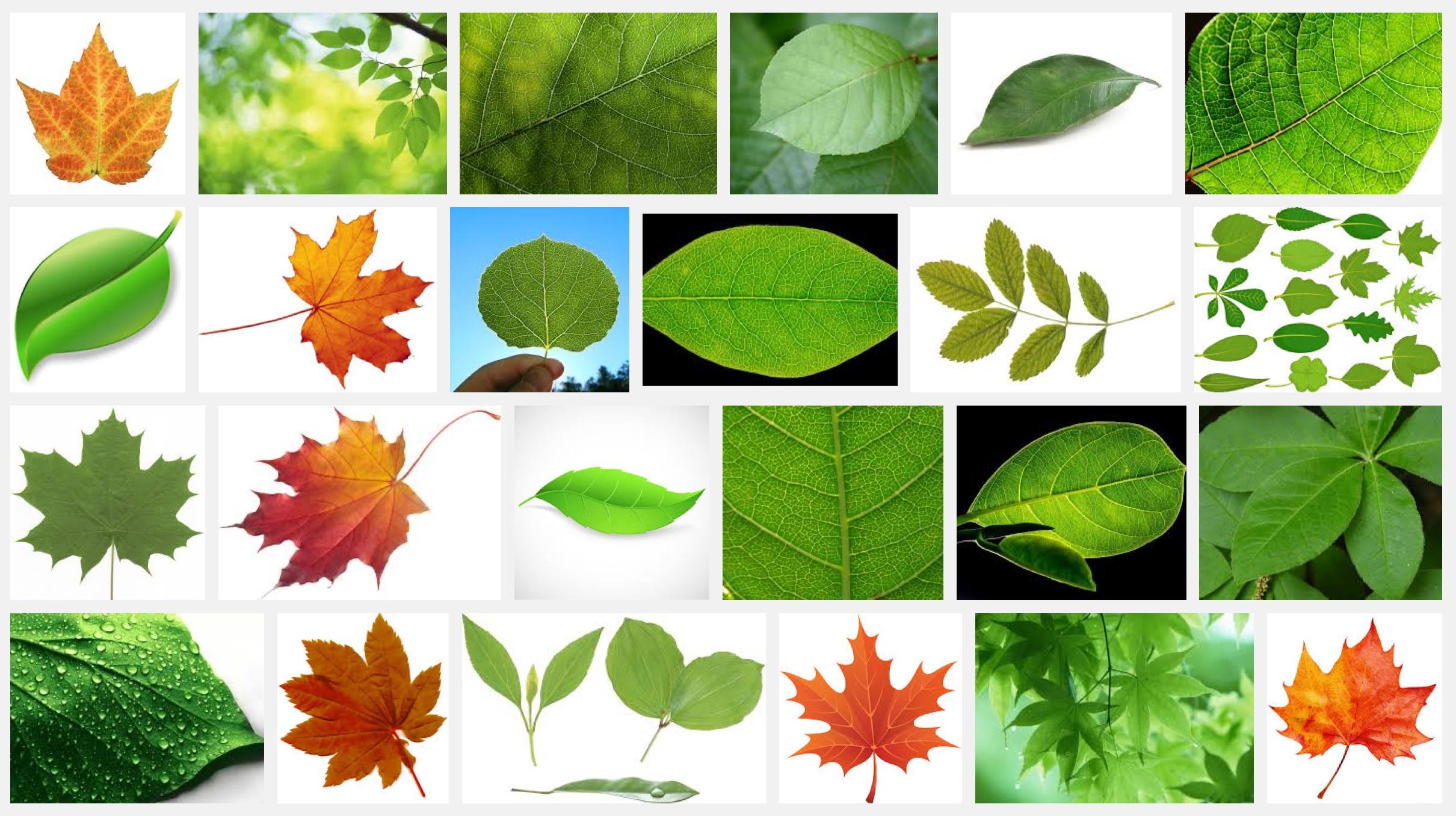 google-search-leaf