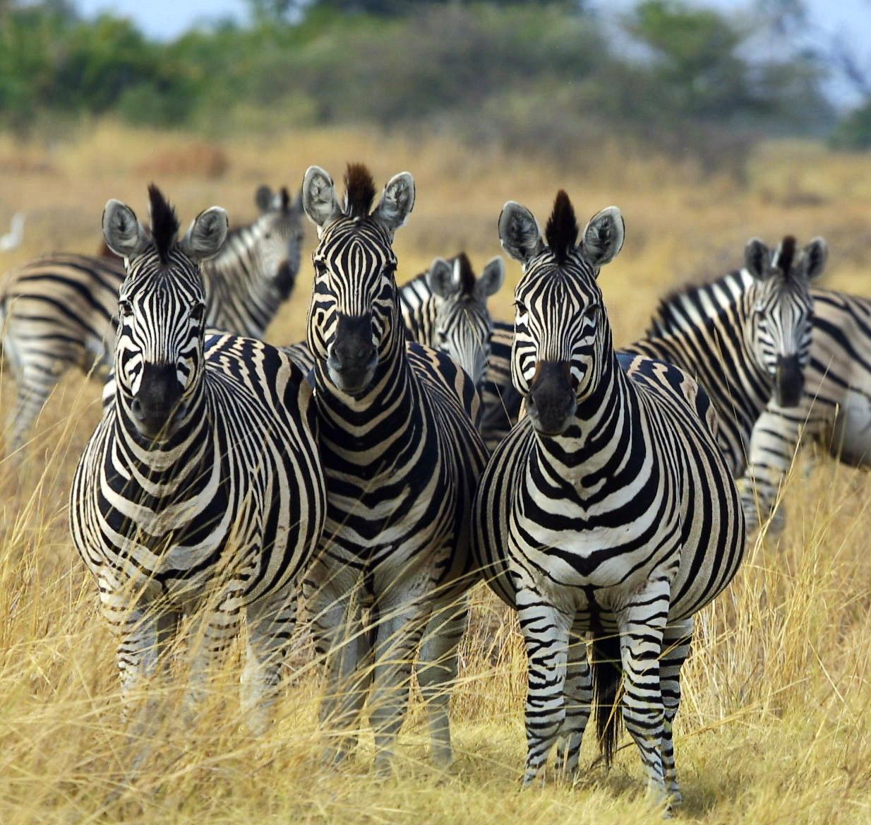 Zebra_Botswana