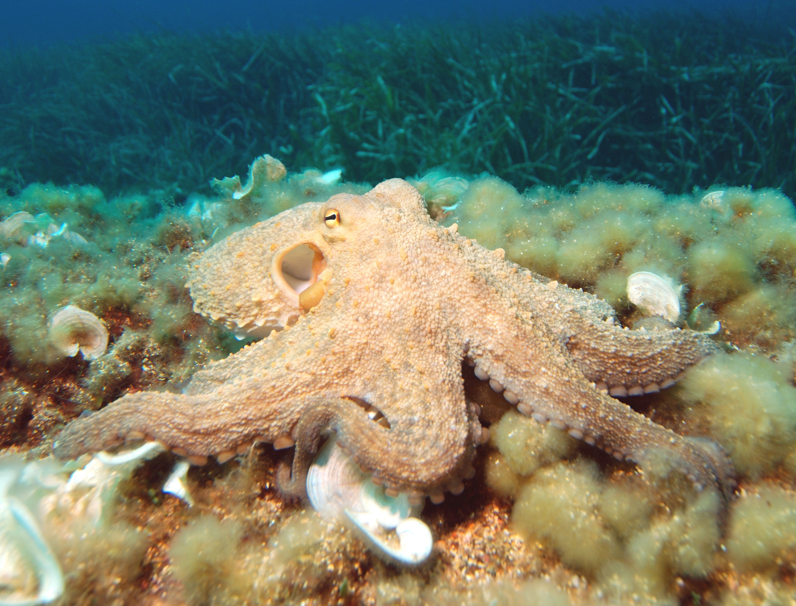 common-Octopus
